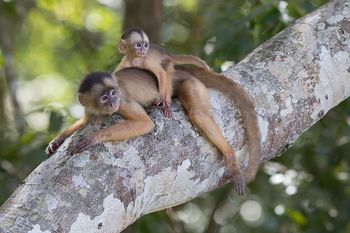 Medium_edukatu-por-dentro-wikipedia-loves-earth-macaco_caiarara__cebus_albifrons__com_filhote