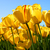 Thumb_sq_tulips